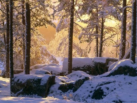 Snowy Pine Forest   - forest, sun light, snow, rocks