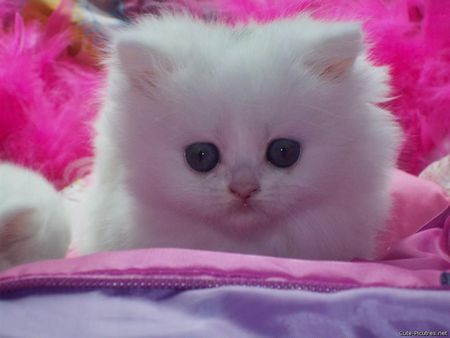 Cute White Kitten Who Likes The Color Pink Cats Animals