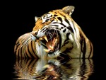 Dangerous tiger