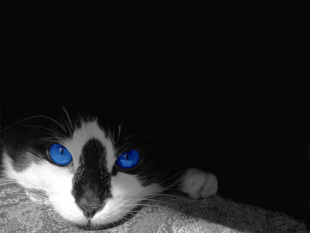 Tuxedo Blue - kittens, cats, animals