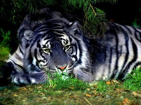 A Maltese Tiger Cats Animals Background Wallpapers On Desktop