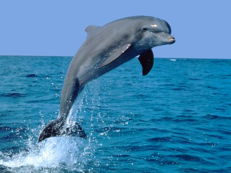 Dolphin - dolphin