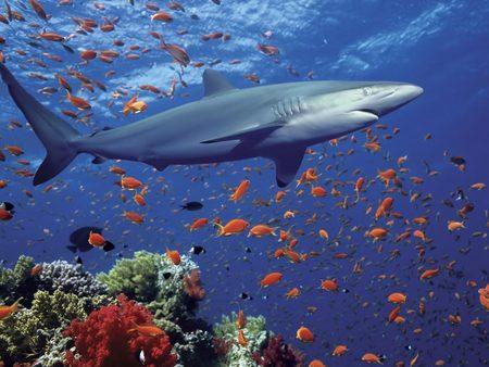 Shark - teeth, shark, ocean, water, fish, reef, coral, tubarao, animal, cool, school of fish, animals, coral reef, danger, sea