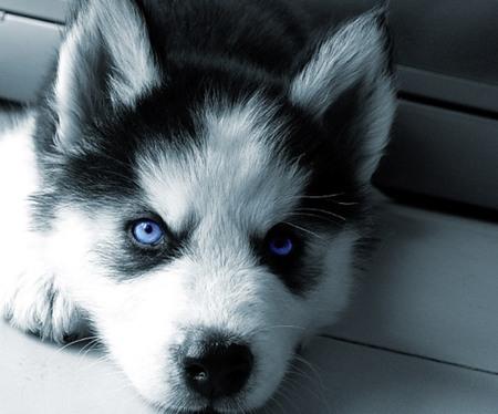 Siberian Husky Puppy - animal, husky, puppy, cachorro, siberian husky, dog