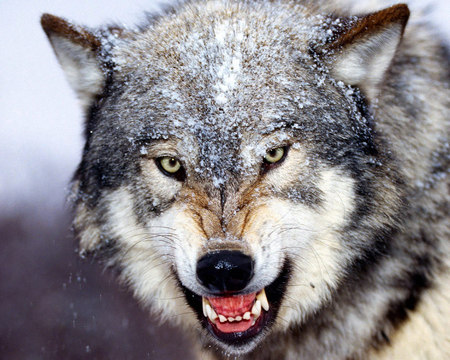 Bared Teeth Gray Wolf - wolf, smiling, mad, danger, sad, lobo