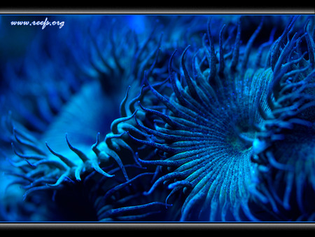 Blue reefs - nice, anenome, deep, shocking, electric, reefs, blue