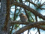 ~A Beautiful Barred Owl~Cypress Creek Preserve