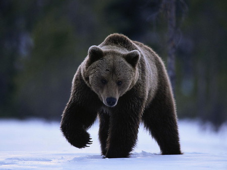 bear - cute, bear, black, griz, native, animals