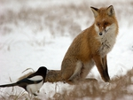 Fox talking to a bird
