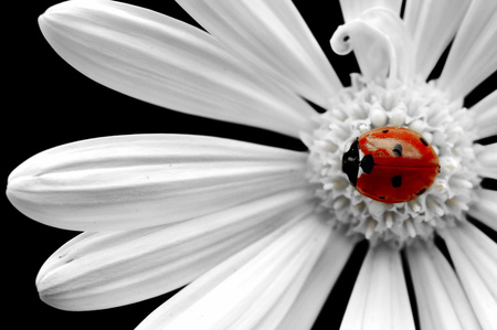 Lady on a daisy - ladybug, nature, flower