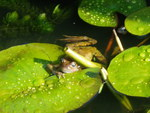 frog in our pond.