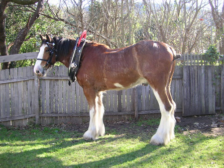 Clydesdale Horse - clydesdales, budweiser horse, horses, working horse