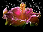 Hibiscus Sparkling Heart