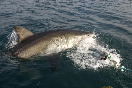 shark - shark, animals