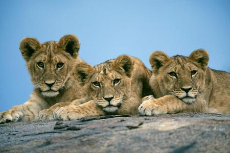 Baby Lions - babies, cubs, cats, lion, animals