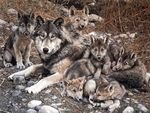 Wolf With Cubs