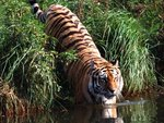 Tiger going to water
