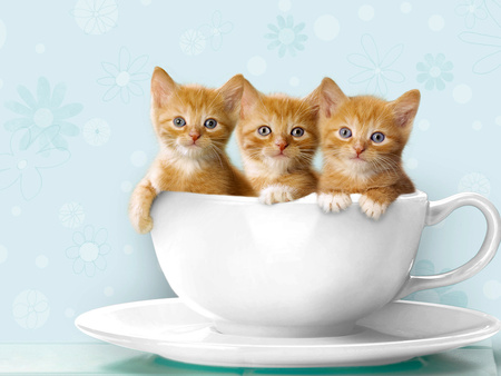 Teacup Kittens - gatos, cats, animal