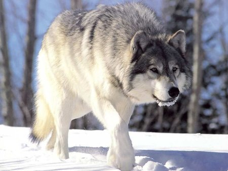 Pretty Wolf - dogs, snow, wolf, animals, wolves, puppy, dog