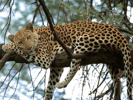 Leopard - leopard, cat, animals, feline, tree, cat nap, leopard in a tree, rest
