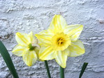 white and yellow striped daffodill.