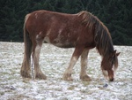 snowy clydesdale