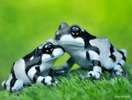 Zebra Frogs