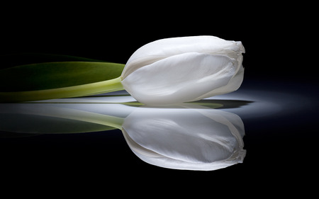 white tulip - flower, beautiful, white, purity, tulip