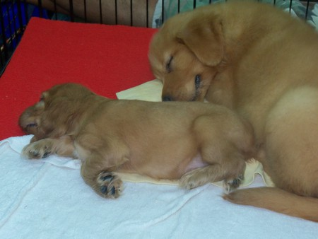 Thai Puppies for Sale at Chatuchak Market - chatuchak market, golden retriever pups, thailand