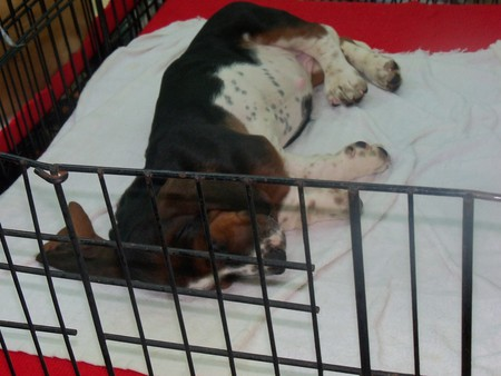 Thai Puppy for Sale at Chatuchak Market - chatuchak market, basset hound pups, thailand