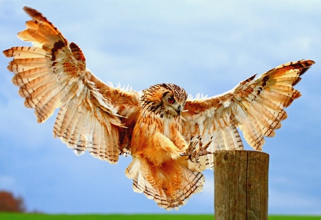 PERFECT LANDER     ( Rock Eagle Owl) - bengal, owl, landing, eagle, raptor, wood