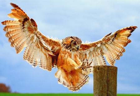 PERFECT LANDER     ( Rock Eagle Owl) - wood, raptor, bengal, landing, owl, eagle
