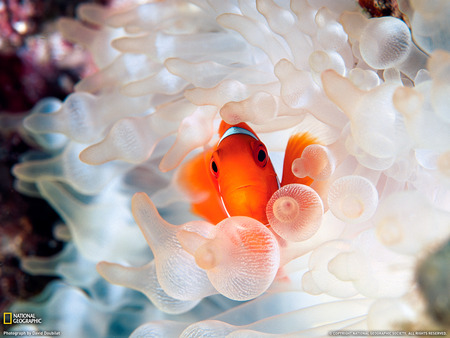 Clownfish and Bubble-Tipped Anemone - cool, ocean, marine life, fish, nature