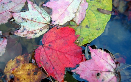 Autumn Leaves - autumn, colourful, water, nature, leaves