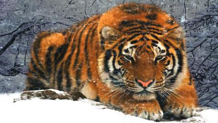 Snow Tiger Other Animals Background Wallpapers On Desktop Nexus