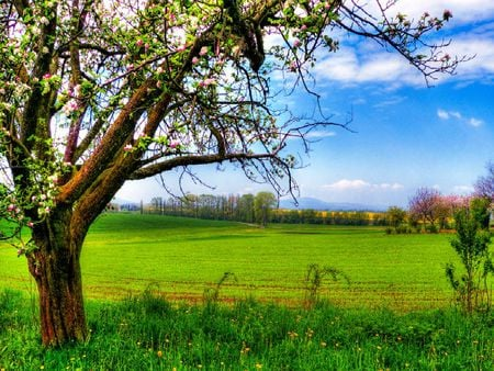 The apple tree - apple, tree, spring, green