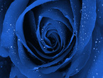 A BEAUTIFUL BLUE ROSE