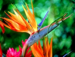 Bird of Paradise and a friend