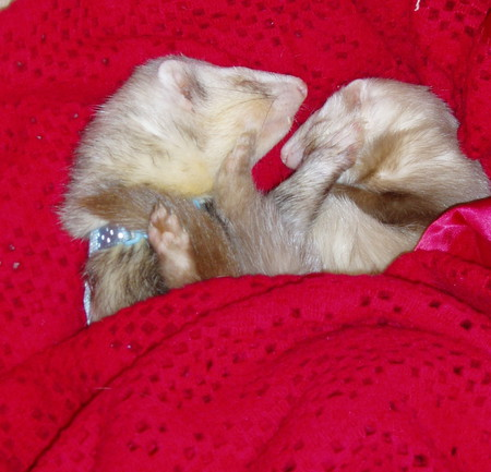 bed buddies. - ferrets, red, blanket, sleepiness