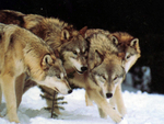 Four wolves
