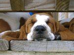 Sleeping Basset