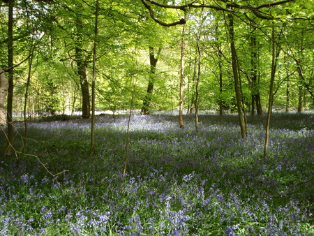 Bluebell Wood - flowers, sunshine, bluebells, spring, oxfordshire