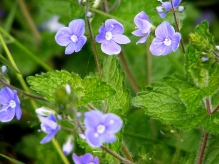 speedwell, a weed? - flower, blue, wildflower, sweet