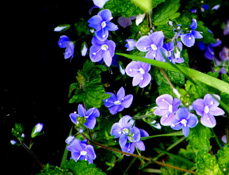 the common speedwell. - tiny, speedwell, blue, wildflower