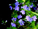the common speedwell.
