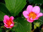 pink strawberry flowers,