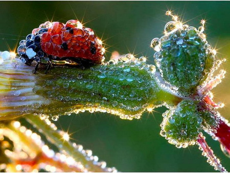 ladybug - dew, sunshine, morning, luck