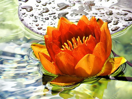 waterlily - devotion, beauty, orange, lake