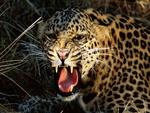 Cheeta . jpg
