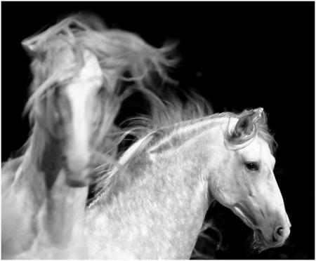 Ghosts In The Darkness - ghosts, spanish horse, white, andalusian, animals, horses, spanish